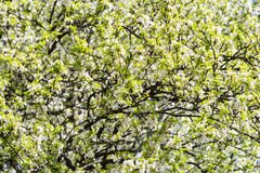 Apple Tree Spring White Flowers Royalty Free Stock Photography