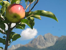 Apple on the Tree with Striking Italian Mountains. Tempting, tempting, tempting: Apple on the tree on a sunny mid-autumn day in delightful South Tyrol, Northern Stock Images