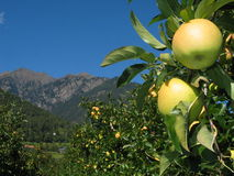 Apple on the Tree with Striking Italian Mountains. Tempting, tempting, tempting: Apple on the tree on a sunny mid-autumn day in delightful South Tyrol, Northern Royalty Free Stock Photos