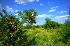 Apple tree in summer field Royalty Free Stock Images