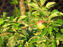 Apple tree. Apple on the tree in the summer garden Stock Photo
