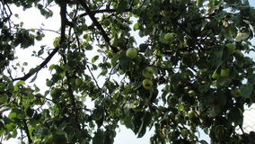 Apple tree in summer Stock Images