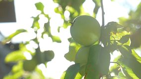 The apple tree sunlight green morning agriculture garden slow motion video. Apple tree sunlight green morning agriculture garden slow motion video stock video
