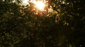 Apple Tree at Sunset HD. Apple Tree at Sunset Rays of Light. Horizontal and Vertical Soft Dolly Movement HD stock footage