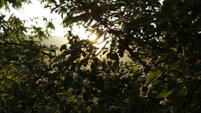 Apple Tree at Sunset HD. Apple Tree at Sunset Rays of Light Soft Dolly Movement HD stock footage