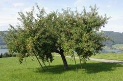 Apple Tree, Switzerland Royalty Free Stock Image