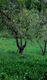 Apple tree trident Stock Photography