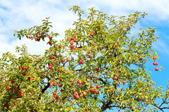 Apple-tree twig Royalty Free Stock Photos