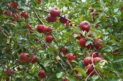 Apple-tree twig Royalty Free Stock Photo