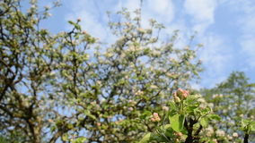 Apple tree twig bloom. Apple tree branches twigs bloom buds and clouds passing on background sky stock video footage