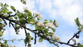 Apple tree twig bloom. White blooming apple tree branch twig and clouds passing on background sky stock footage