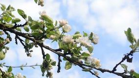 Apple tree twig bloom stock footage