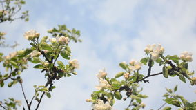 Apple tree twig bloom. White blooming apple tree branches twigs and clouds passing on background sky stock video