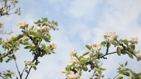 Apple tree twig bloom stock video