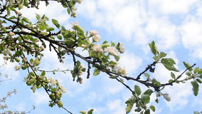 Apple tree twig bloom. White blooming apple fruit tree branch twig and clouds passing on background sky stock footage