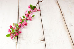 Apple tree twig with blossoms Stock Images