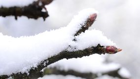 Apple tree twig with mature buds with snow falling onto it. Closeup of an apple tree twig with mature buds with snow falling onto it with heaps of snow. Macro stock video