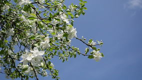 Apple tree twig petal. Blooming apple tree branches twigs petal on background of blue sky stock video