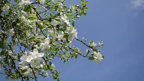 Apple tree twig petal stock video