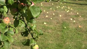 Apple tree twig with red ripe fruits and windfall apples lie on meadow grass. Focus change. 4K