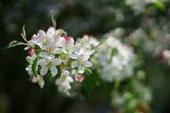 Apple tree twig with white and pink blossom close up. Royalty Free Stock Image