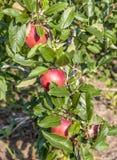 Apple tree in Tyrol Italy Stock Photos