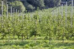 Apple tree in Tyrol Italy Royalty Free Stock Images