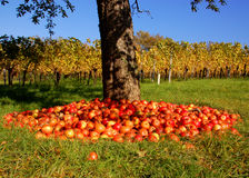 Apple Tree and vineyard Royalty Free Stock Images