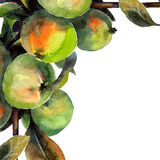 Apple tree. Watercolor hand painted illustration of tree brunch. Vector format Stock Photo