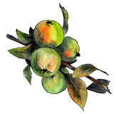 Apple tree. Watercolor and ink painted apple tree brunch Stock Image