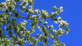 Apple tree with white blossom stock video footage