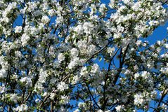 Apple tree in white blossom Stock Images