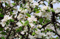Apple Tree with White Blossoms in Spring Stock Images