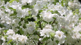 Apple tree with white flowers against the blue sky stock video footage