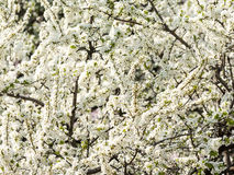 Apple Tree White Flowers Blooming Royalty Free Stock Image