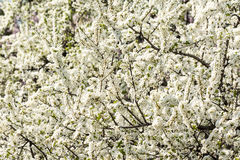 Apple Tree White Flowers Blooming Stock Photos