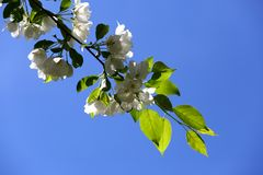 Apple tree white flowers on blue sky background Royalty Free Stock Images