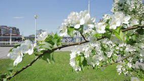 Apple tree with white flowers in the city. Spring flowering stock video footage