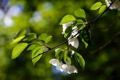 Apple tree white flowers Royalty Free Stock Image