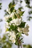 Apple tree white flowers Stock Images
