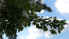 Apple tree in the wind.  stock video footage
