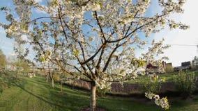 Apple tree in wind stock video