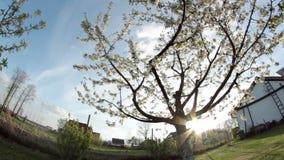 Apple tree in wind stock footage