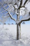 Apple tree in winter. Snow covered apple tree in winter with blue sky Royalty Free Stock Photography