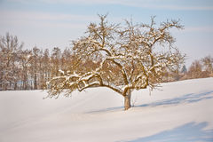 Apple tree in winter. Winter landscape snow scene with snow covered apple tree and snowy forest in background Royalty Free Stock Photography