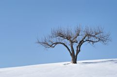 Apple Tree in Winter Stock Photography