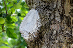 apple tree wound after pruning Stock Images