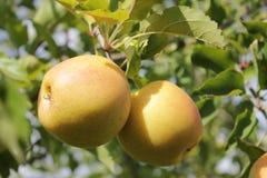 Apple on a tree. Yellow apple on a tree stock photo