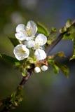 Apple treeblomning Fotografering för Bildbyråer