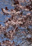 Apple treen a florescência na primavera Imagens de Stock